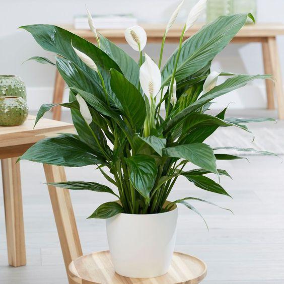 Anthurium, pianta tropicale, fiori bianchi