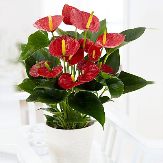 Anthurium pianta tropicale, fiori rossi