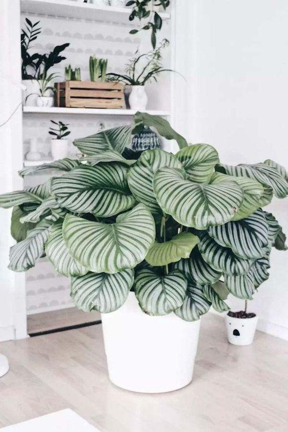 pianta tropicale Calathea in arredamento bianco