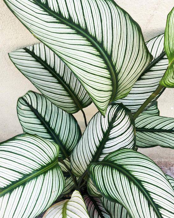 pianta tropicale Calathea