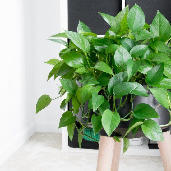 pianta Pothos sopra sgabello