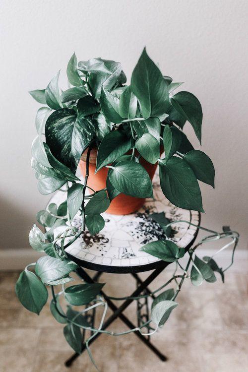 arredare con pianta Pothos