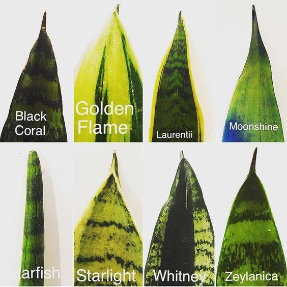 8 tipologie pianta Sanseveria